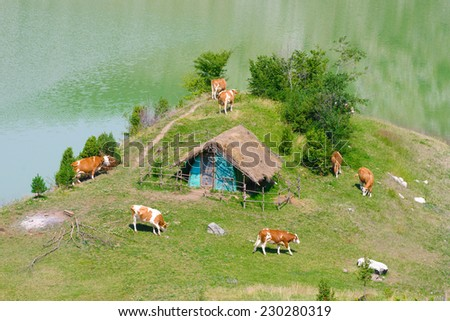 herd of cows are pasturing along Uvac River bank, Serbia - stock photo