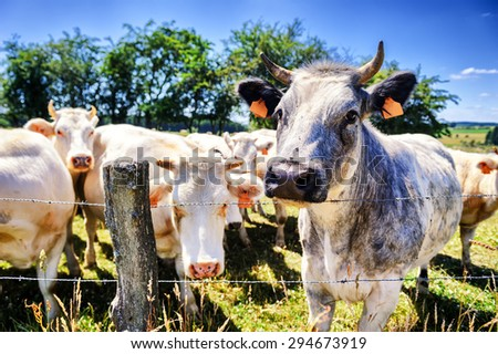 Herd of cows at summer green field. Agricultural concept - stock photo