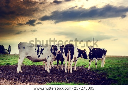 Herd of cows at summer sunset - stock photo