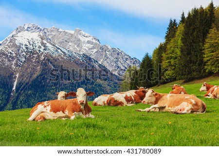 Herd of cows graze in a pasture in the Alps. Snow-capped peaks in the background. - stock photo