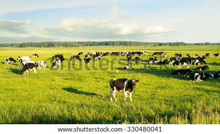 Herd of cows grazing and resting in the middle of the field in summer - stock photo