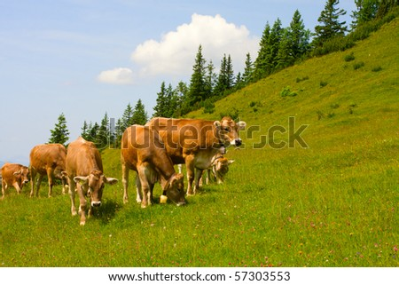 Herd of cows grazing in Alps - stock photo