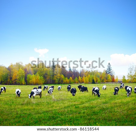 Herd of cows grazing on a green meadow with autumn forest and blue sky on a background - stock photo