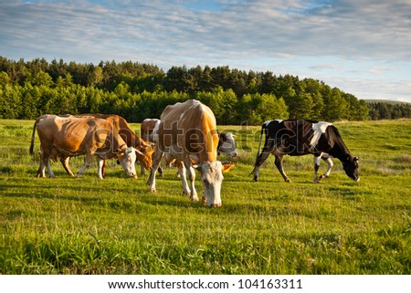 Herd of cows grazing on a meadow - stock photo