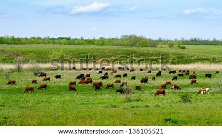 Herd of cows grazing on green meadow