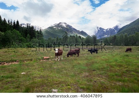 Herd of cows in a green meadow , forest and mountains with snow in background, near Grods Norway - stock photo