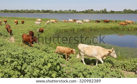 herd of cows in a pasture near the river on a clear summer day - stock photo