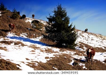 herd of cows in sunny winter day, bulgarian Rila mountain  - stock photo