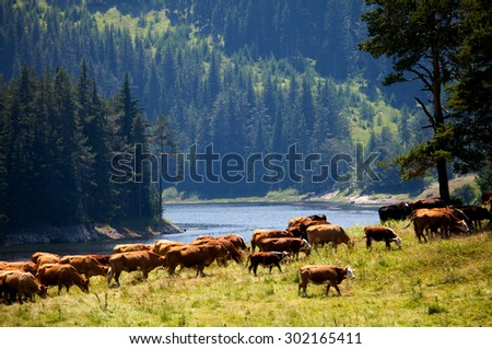 herd of cows near high mountain lake in bulgarian Rhodope mountains