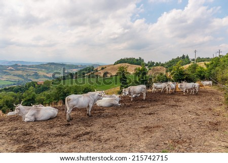 Herd of cows on the background of the hilly landscape in Tuscany Italy