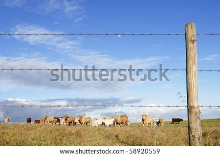 Herd of cows pasturing in a barbwire fenced field,  Alentejo, Portugal - stock photo