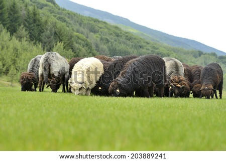 Herd of cute small sheep on meadow in the mountains - stock photo
