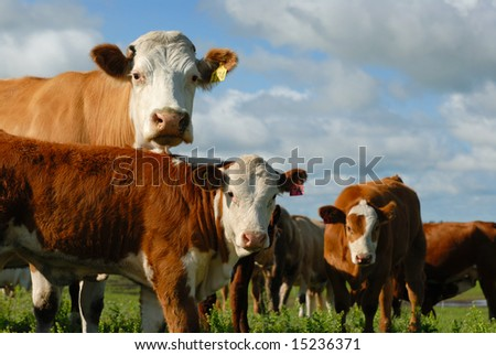 Herd of dairy cows looking at you. - stock photo