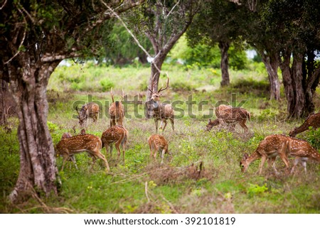 Herd of deer at Yala national park, Sri Lanka - stock photo