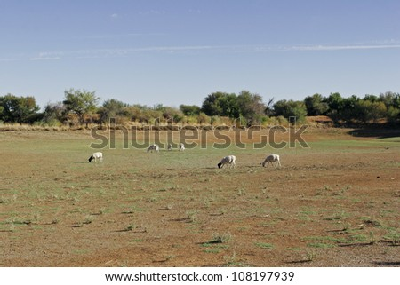 Herd of dorper sheep