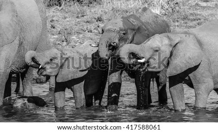 Herd of elephant drinking water from river