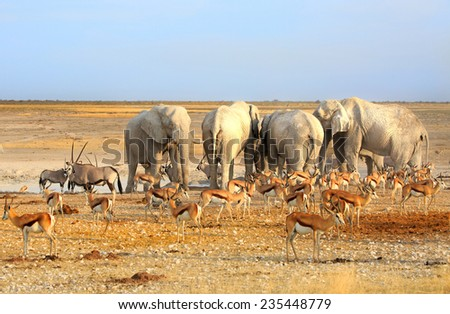 Herd of Elephants and Springbok at a waterhole in Etosha National park - stock photo