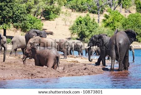 Herd of elephants at watering, Chobe national park, Botswana - stock photo
