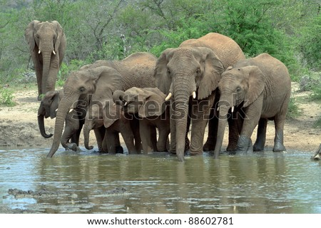 Herd of Elephants drinking at the water hole - stock photo
