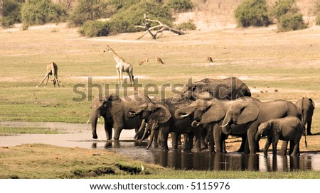 Herd of elephants drinking on the Chobe Riverfront in Botswana - stock photo