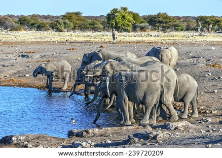 Herd of elephants (Elephantidae) at a waterhole in Etosha National Park - Namibia, South-West Africa - stock photo