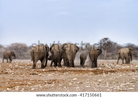 Herd of elephants in a dry and dusty environment leaving a waterhole in late afternoon after drinking and bathing in Etosha National Park, Namibia - stock photo