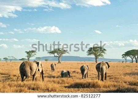 Herd of Elephants in the evening sun of the dry plains of Serengeti, Tanzania - stock photo