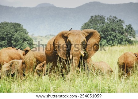 Herd of elephants, Kidepo Valley National Park (Uganda) - stock photo