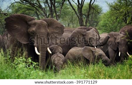 Herd of Elephants , Serengeti natural park, Tanzania - stock photo