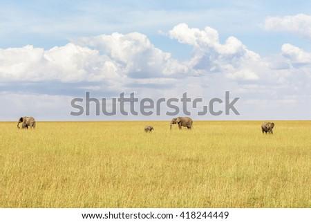 Herd of elephants wandering in the savannah - stock photo