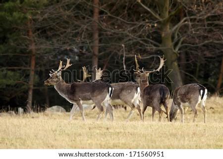 herd of Fallow Deer (Dama dama)         - stock photo