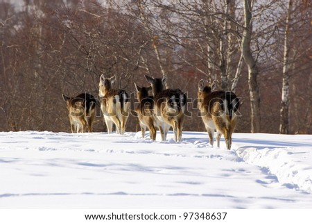 Herd of fallow deer does (dama dama) walking through the big snow towards the woods in a sunny winter day. - stock photo