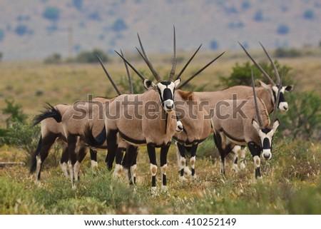 Herd of Gemsbuck - stock photo