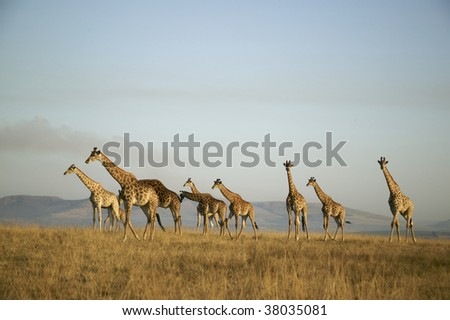 herd of Giraffe