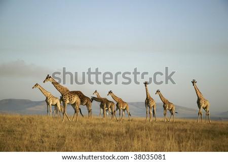 herd of Giraffe - stock photo