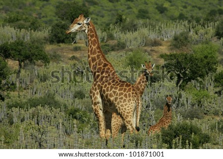 Herd of giraffe with new born baby giraffe calf. Taken in Eastern Cape, South Africa