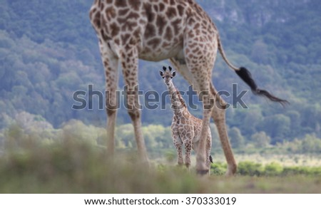 Herd of giraffe with new born baby giraffe calf. Taken in Eastern Cape, South Africa - stock photo