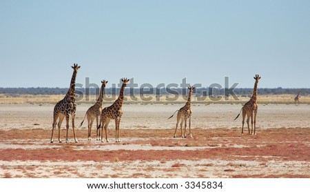 Herd of giraffes in african savanna, Etosha N.P., Namibia - stock photo