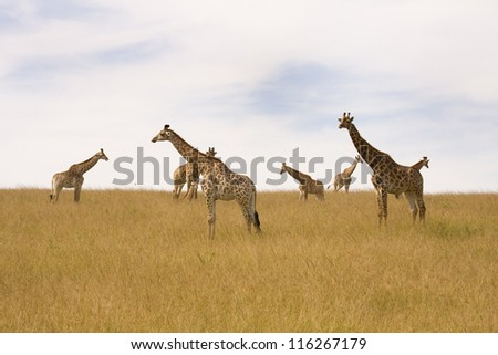 Herd of Giraffes resting on the plains - stock photo