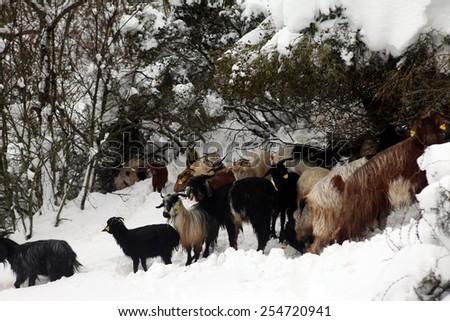 Herd of goats - stock photo