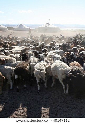 Herd of goats in front of mongolian yurt - stock photo