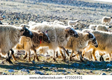 Herd of goats in the Namtso Lake