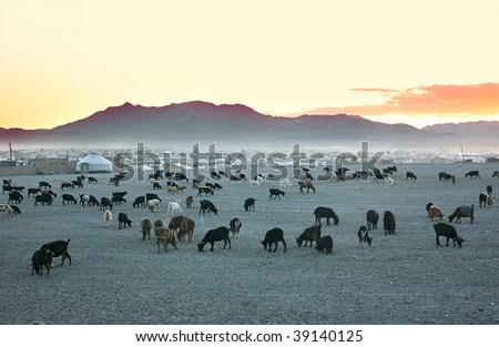 Herd of goats in the sunset at mongolian village - stock photo