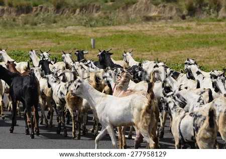 Herd of goats walking on road in rural part of Gurgaon, India - stock photo