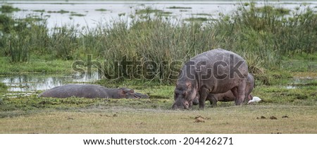 Herd of hippo (Hippopotamus amphibius kiboko)  on the edge of swamp area in  Amboseli National Park, Kenya - stock photo