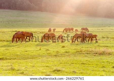 Herd of horse grazing grass at summer evening. - stock photo