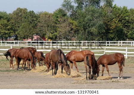 herd of horses eat hay in corral - stock photo