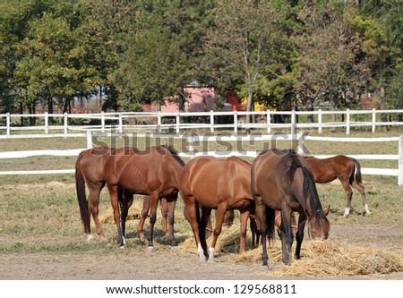 herd of horses eat hay on farm - stock photo