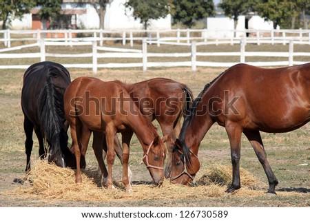 herd of horses eat hay ranch scene - stock photo