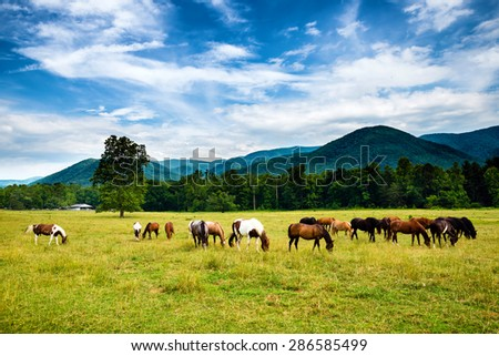 Herd of horses graze before smoky mountains in Tennessee at Cades Cove Great Smoky Mountains National Park  - stock photo